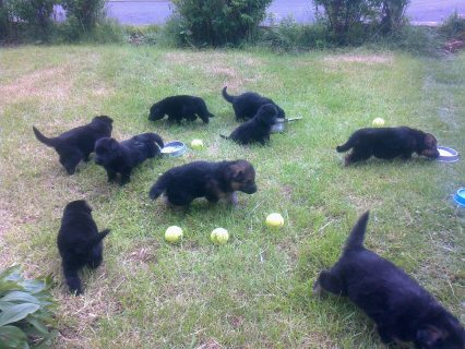 Healthy and Cute German Shepherd  Puppies For Sale