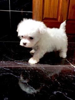 Very Tiny Teacup Maltese  Puppies Now Available