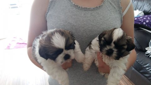 Fantastic White  shih tzu puppies available