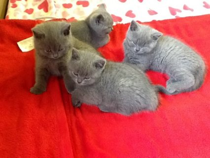 Cute male and female British shot hair Kitten for re-homing