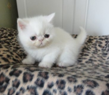 cute male and female persian kitten For Sale