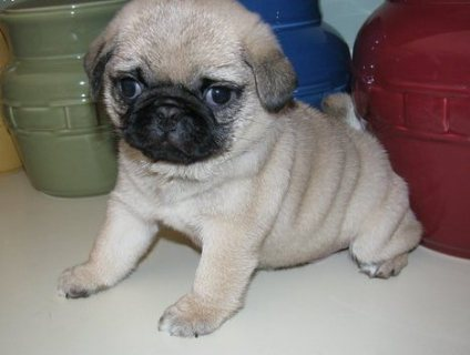 very loving Pug puppies for Sale