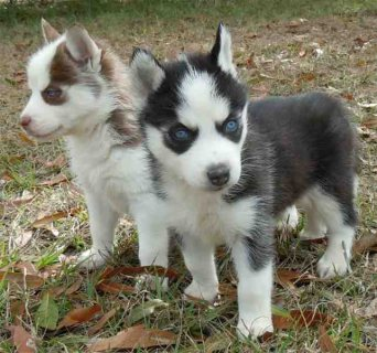 Home Trained Siberian Husky Puppies Available For Sale