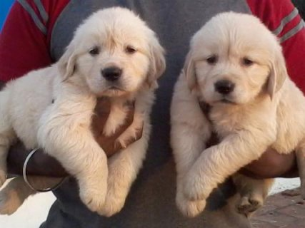 Excellent Golden Retriever Puppies For Sale