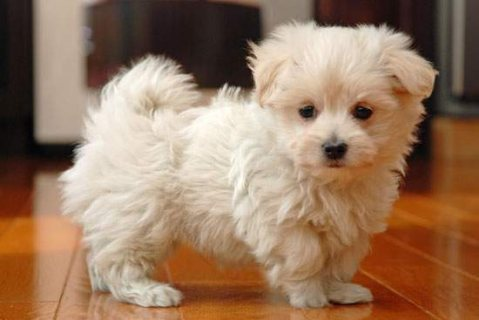 Gorgeous white Maltese Puppies For Sale