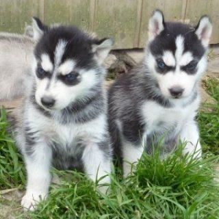 Outstanding Siberian Huskies For Sale
