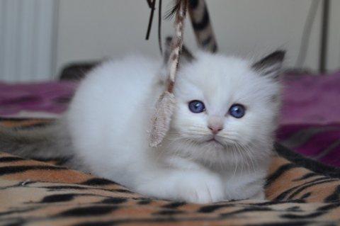 Beautiful Pedigree Ragdoll Kittens For Sale