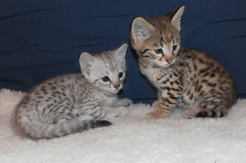 Cute Savannah male and female kittens for sale33