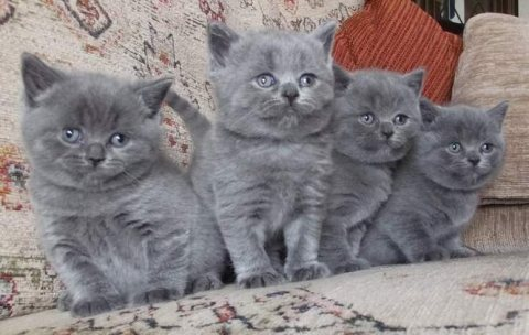 صور  British Short Hair kittens For Sale 1