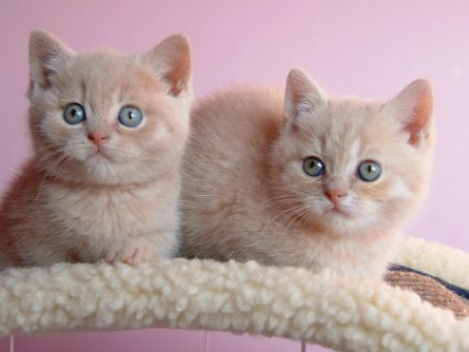 Beautiful british short hair kittens For Sale