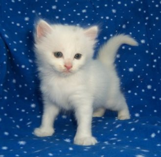 Cute Persian Kittens Currently Available For Sale