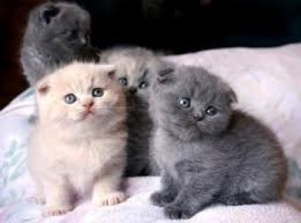 Cute male and female scottish fold kittens for sale .../.