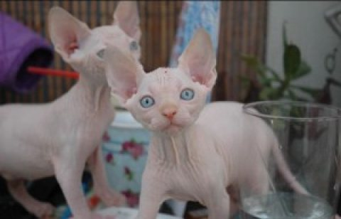 SPHYNX KITTENS FOR NEW HOME