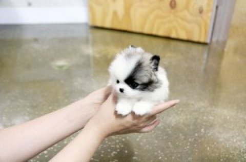 صور PRECIOUS TEACUP POMERANIAN PUPPIES 1