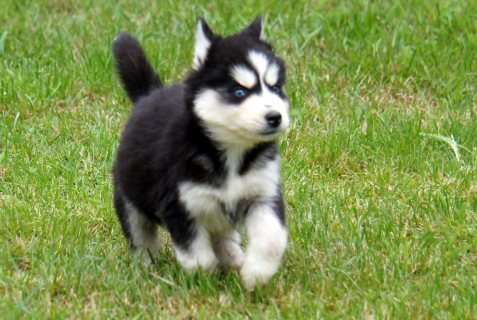 Cute and Adorable Siberian husky puppies puppies For Adoption
