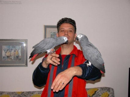 Congo African Grey Parrots for bird lovers and for kids.