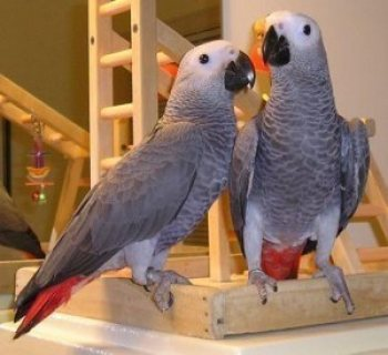 A Pair of Talking African Grey Parrots.,,,