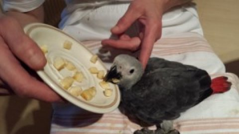 11 Months Old African Grey,,