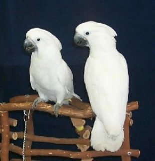 Lovely Pair of Umbrella Cockatoos for Sale,,,