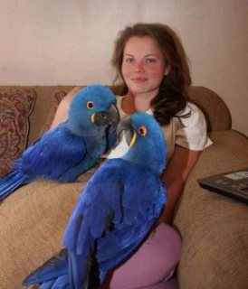 صور Pair of Hyacinth Macaws for Sale,,,, 1