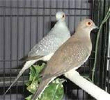 Timbardo, Stafford, American singing Canaries