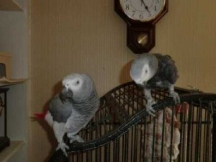 Healthy Pair of African grey parrots for adoption,,,
