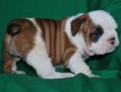 صور Adorable English Bulldog Puppies For Adoption/../././/. 1