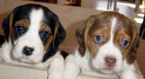 Cute Beagle Puppies for sale/././././.,,.