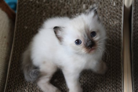 Ragdoll Cross Kittens For Sale
