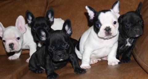 Adorable french bulldog puppies..
