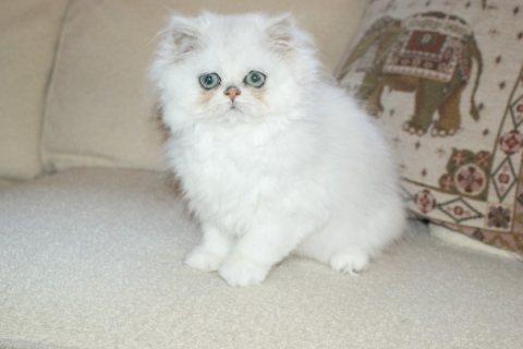 Beautiful Blue Point Baby  Persian Kitten