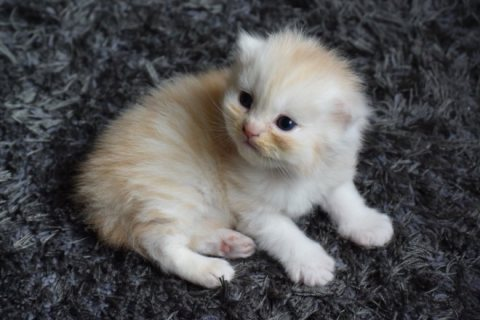Persian kitten available