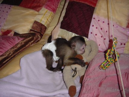 i got some 2 lovely baby capuchin monkeys ready for new loving h