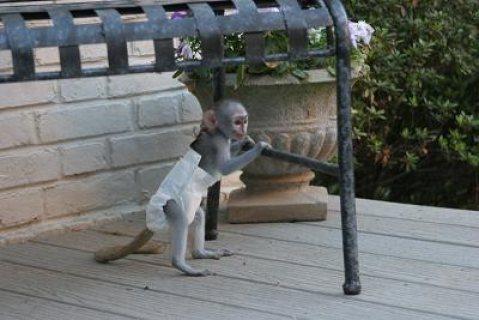 Top Quality Capuhin Babies monkeys for adoption.