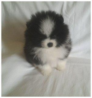 Perfect Pomeranian Puppy