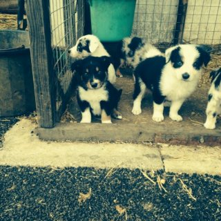 Home trained Border Collie puppies available
