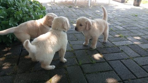 Affectionate and charming golden Retriever  puppies for adoption