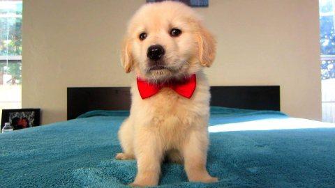 Gorgeous Golden Retriever puppies for sale09
