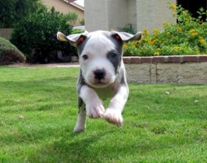 Pitbull Terrier Puppies for Offer Now..08