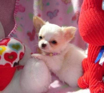 T\'cup chihuahua puppies available for your home