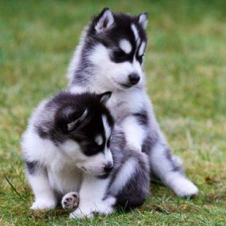 Excellent Siberian Husky Puppies For Sale.