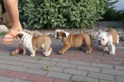 Beautiful male and female English bulldog puppies