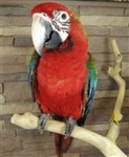 Quatro Macaw Parrots For Sale