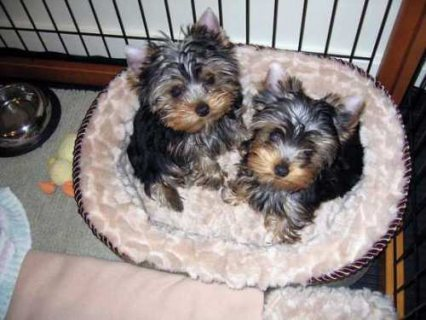 صور Most healthy teacup yorkies available for adoption 1