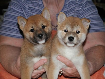 Registered Shiba Inu Puppies For Sale