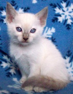 Gorgeous George Siamese Kittens For Adoption