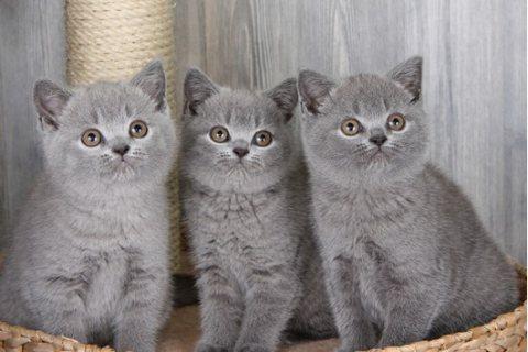 British Short-haired Kittens