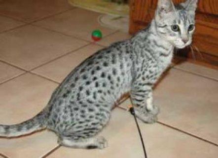 Savannah F4 kittens for adoption