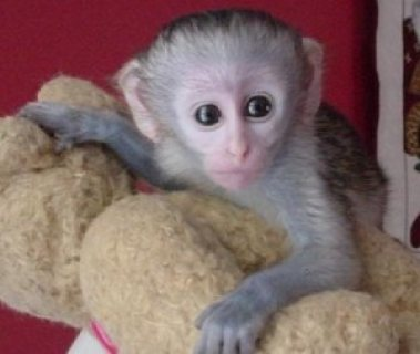 Excellent And Sweet Gorgeous baby Capuchin monkeys ready now