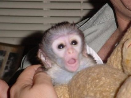 Adorable capuchin monkeys for adoption